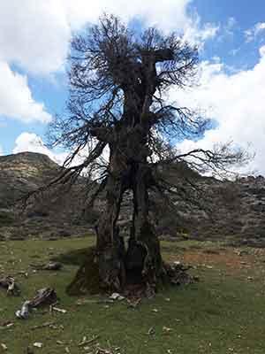 Quejigo in der Sierra de las Nieves, Torrecilla